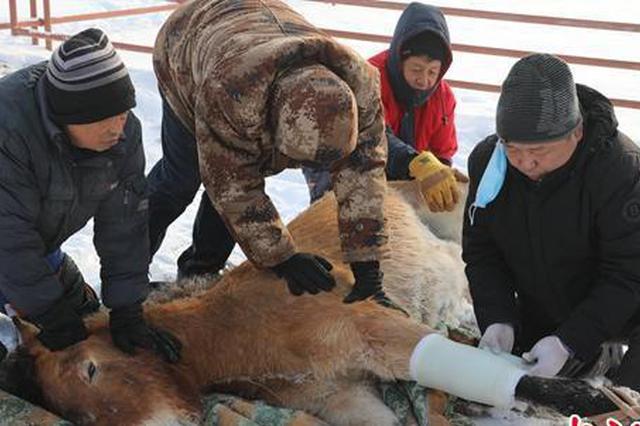 新疆北部气温骤降两匹野马生病 工作人员极力抢救脱险