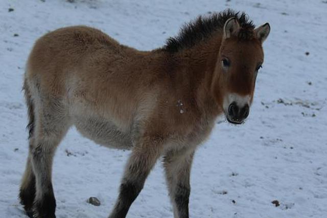新疆已有161匹普氏野马被认养