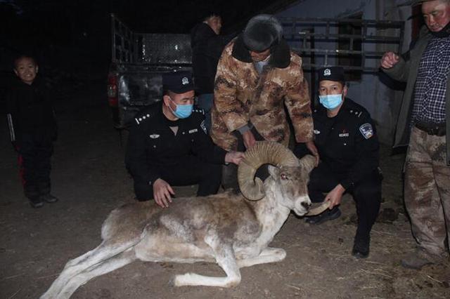 阿勒泰托斯特边境派出所及时救助国家二级保护动物盘羊