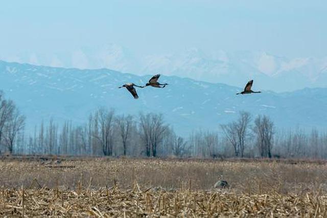 新疆呼图壁:灰鹤起舞映天山