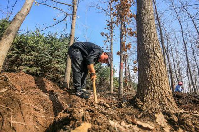 新疆呼图壁:植树好时节 农民挖树忙