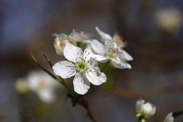 新疆托克逊县梨花绽放春意盎然美如画