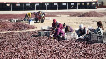 新疆和田:又到红枣丰收时