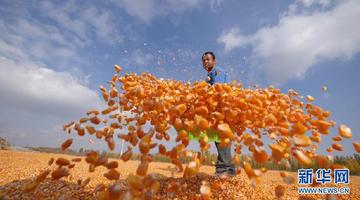 新疆博乐逐步:免耕玉米采收完成
