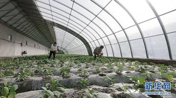 人勤春来早 新疆阿瓦提412座设施大棚蔬菜陆续上市