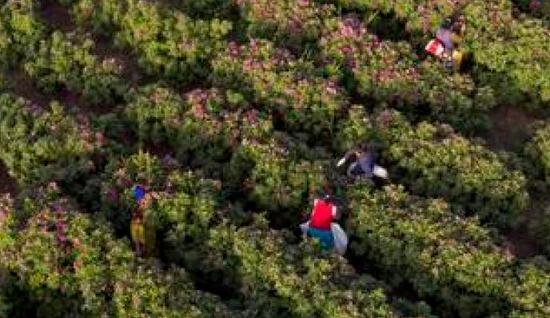 5月9日,采花工在玫瑰花田里采摘。