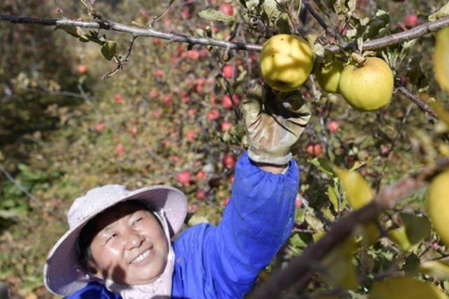 西藏林芝:高原苹果产业助农增收