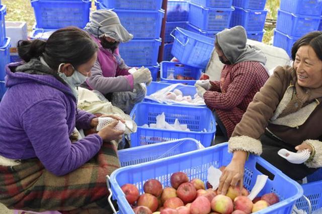 西藏林芝:高原苹果喜获丰收