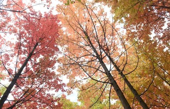 寻一抹秋意 昆明植物园枫叶红啦
