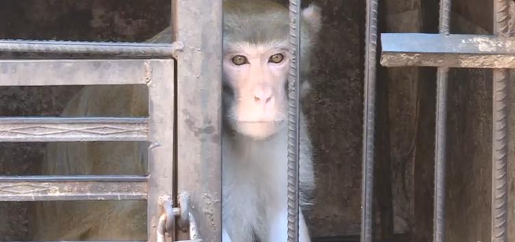 云南普洱三只猕猴被解救 已遭非法囚禁饲养近10年