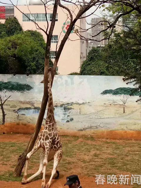 视频|遗憾!昆明圆通山长颈鹿头被卡树杈上…经抢救无效死亡!