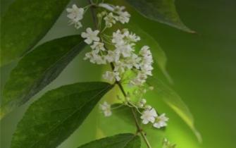 神秘濒危植物平当树花开昆明植物研究所