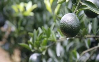 小青柑与大红柑的三大区别