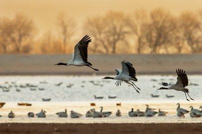 千只高原精灵黑颈鹤飞到云南越冬