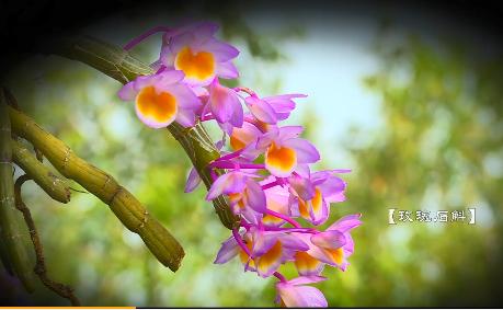 龙陵石斛花开惊艳
