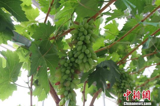 图为华侨庄园内种植的葡萄 陈静 摄