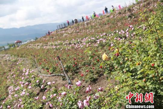 资料图,图为丽江玫瑰花产业。 丽江外宣办供图