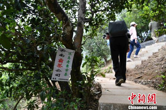 图为云南临沧的一棵古茶树。任东 摄