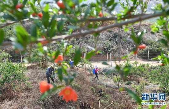 4月8日,在云南弥勒朋普镇庆来村的荒山上,工人在石榴果树林中劳作。新华社记者杨宗友摄