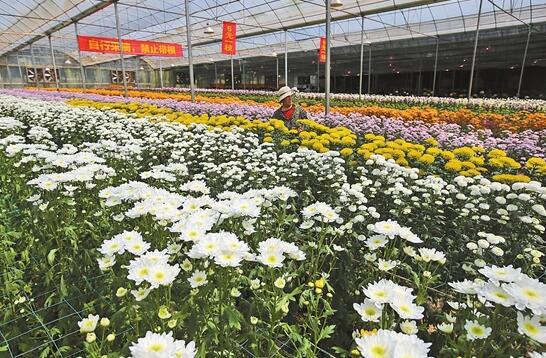 图为园区内昆明虹之华园艺有限公司花卉生产基地。