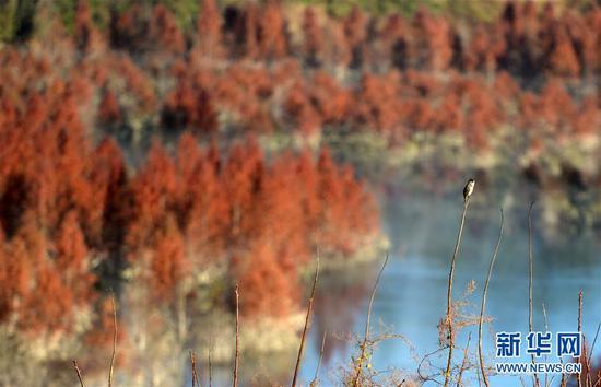 一只鸟在甸尾村水杉湿地停留(1月5日摄)。 新华社记者 秦晴 摄