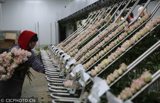 ↑2月21日,工人在弥勒市品元园艺有限公司内分拣、包装刚采摘的玫瑰花,准备供应外地市场。CICPHOTO/梁志强 摄