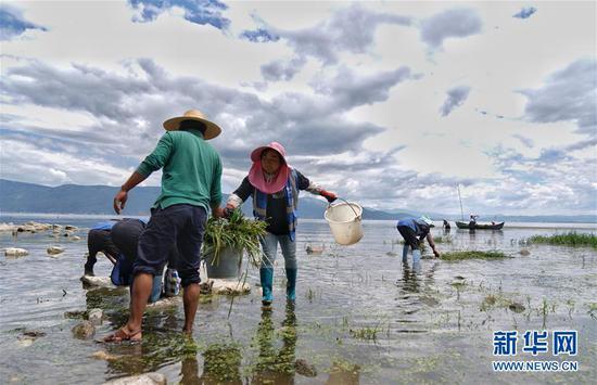 8月10日,大理市湾桥镇古生村村民在打捞水草。