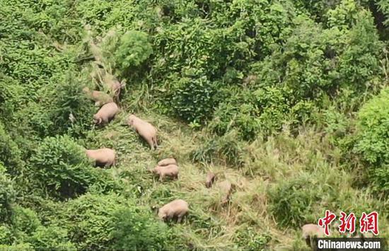 图为在峨山县监测到的象群。 玉溪市委宣传部供图