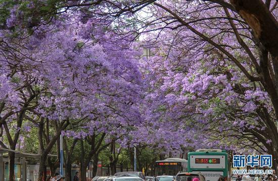 """盛放的蓝花楹团团簇簇、层层叠叠,将教场中路装点成一条""""浪漫花街""""。(新华网 念新洪 摄)"""