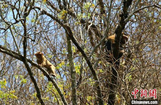 图为现身云南龙陵的北豚尾猴。 蔡双发 摄
