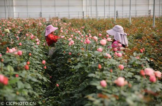 ↑2月21日,工人在弥勒市品元园艺有限公司花卉大棚采摘鲜花。CICPHOTO/梁志强 摄