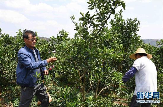 4月8日,在云南弥勒朋普镇可乐村的荒山上,工人在修剪柑橘树枝叶。新华社记者杨宗友摄