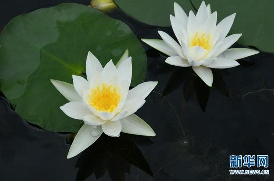 中国科学院西双版纳热带植物园里盛开的睡莲。新华网发(莫海波/摄)
