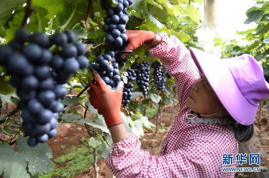 10月26日,在建水县萄宝农业发展有限公司种植园内,一名女工在采摘葡萄。