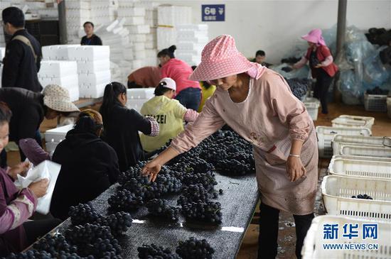 10月26日,在建水县萄宝农业发展有限公司的加工车间,女工在包装葡萄。
