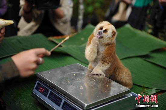 资料图为:2018年11月16日,当日,云南普洱太阳河国家公园开始分批,对区内57种国家重点保护野生动物开展本底调查工作。中新社发 刘冉阳 摄
