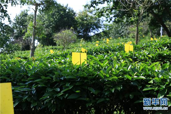 天士力帝泊洱生态茶谷内的生态茶园试验区。新华网 丁凝 摄