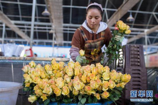 2月14日,在中国云南石林彝族自治县锦苑花卉产业园,工作人员准备对鲜花进行修枝、包装。 新华社记者 胡超 摄