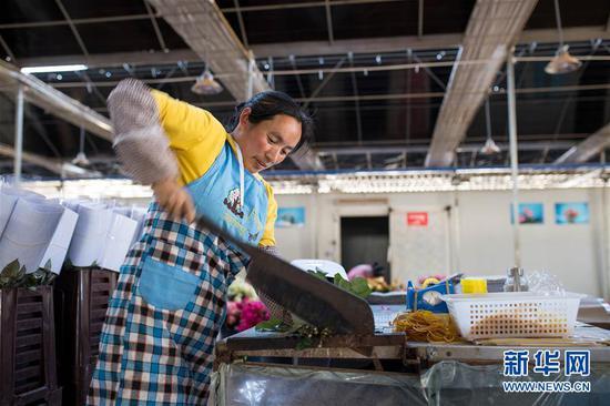 2月14日,在中国云南石林彝族自治县锦苑花卉产业园,一名工作人员修剪花枝。 新华社记者 江文耀 摄