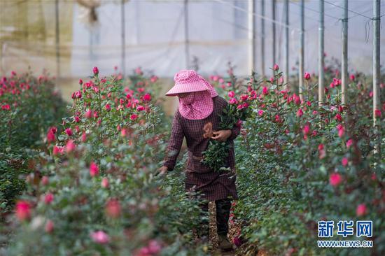 2月14日,在中国云南石林彝族自治县锦苑花卉产业园,一名花农采摘鲜花。 新华社记者 江文耀 摄