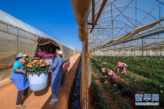 2月15日,在中国云南石林彝族自治县锦苑花卉产业园,花农采摘和搬运鲜花。 新华社记者 胡超 摄