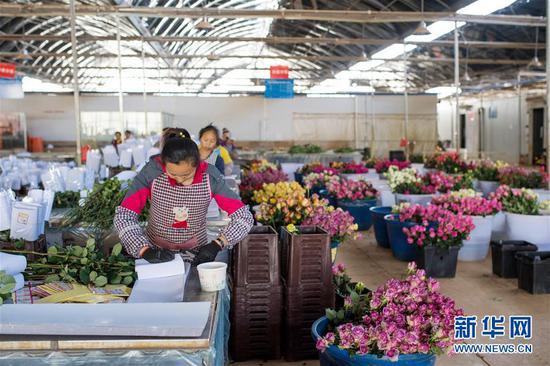 2月14日,在中国云南石林彝族自治县锦苑花卉产业园,工作人员在对鲜花进行包装。新华社记者 胡超 摄