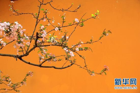 昆明黑龙潭公园内盛放的海棠花。(新华网 念新洪 摄)