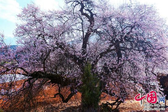 桃李出深井,花艳惊上春。——李白《中山孺子妾歌》摄影 崔永江