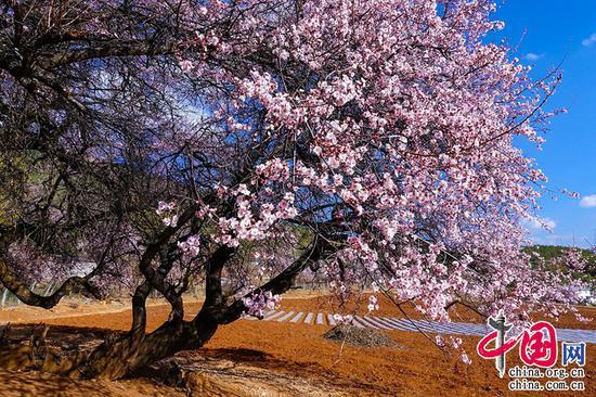 桃花一簇开无主,可爱深红爱浅红。——杜甫《江畔独步寻花·其五》摄影 崔永江