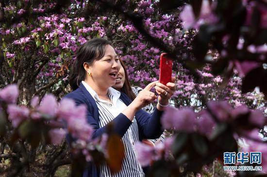 游客在云南大理马耳山杜鹃花海中拍照。