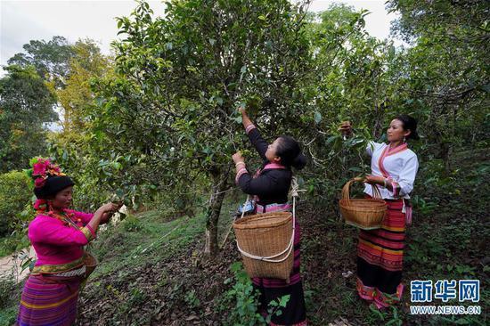6月13日,布朗山布朗族乡老曼峨村村民玉先南(右)和同伴在采摘古树茶。新华社记者 秦晴 摄