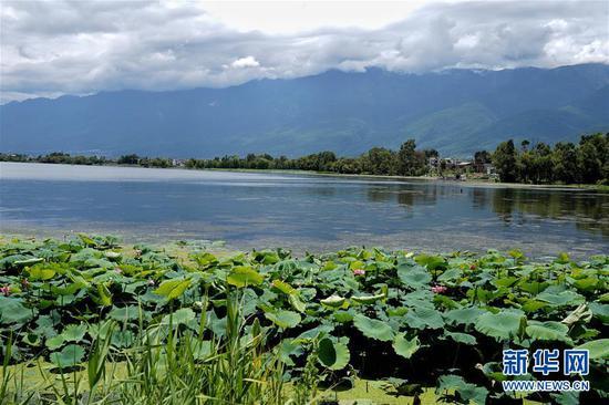 8月10日拍摄的大理洱海边的湿地风景。