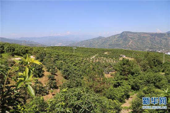 果子山上连片种植的芒果。新华网 张翼鹏 摄