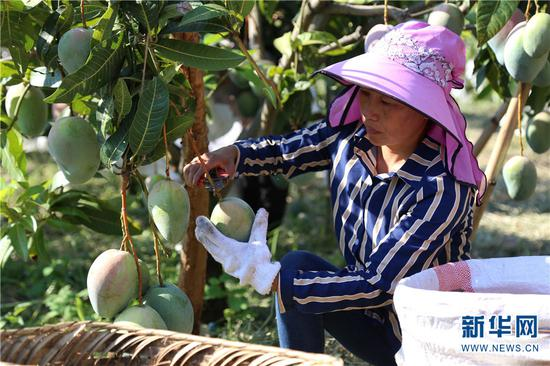 果农正在采收芒果。新华网 张翼鹏 摄